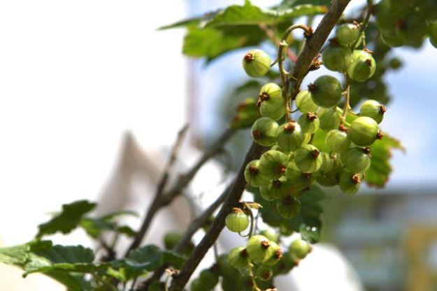 Johannisbeeren, noch unreif, im Urban Gardening Projekt
