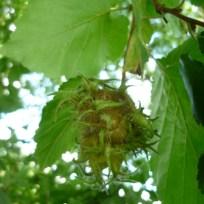 Die Frucht des Haselbaum sieht hübsch aus. Sie sehen stachelig aus, sind es aber nicht. In frischem Zustand sind sie allerdings klebrig und geben ihren Inhalt nicht gern her