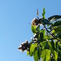 Esskastanien, auch Keschde oder Edelkastanie genannt, wachsen am liebsten in Süd- und Westeuropa.