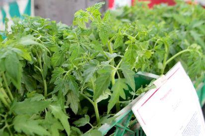 Robuste Tomatenpflanzen aus eigener Anzucht im Angebot