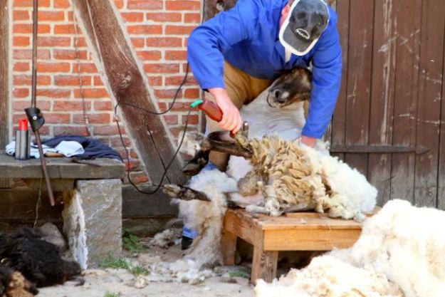 Hier mit Elektro-Rasierer - früher wurden Schafe von Tagelöhnern mit einer Schere geschoren