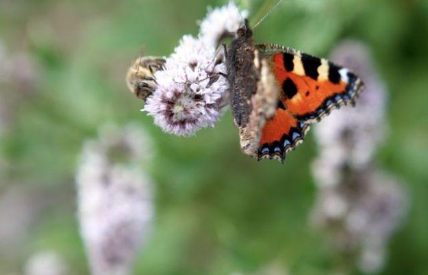 Seltener Anblick: Honigbiene und Schmetterling. Wenn erst Monsantos RNAi Technologie um sich greift, könnte er noch seltener werden