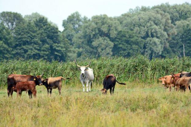 »Eine von den beiden weißen ist die Leitkuh - genau weiß man das nicht.» Halbwilde Rinderherde Foto©Jürgen Gernandt