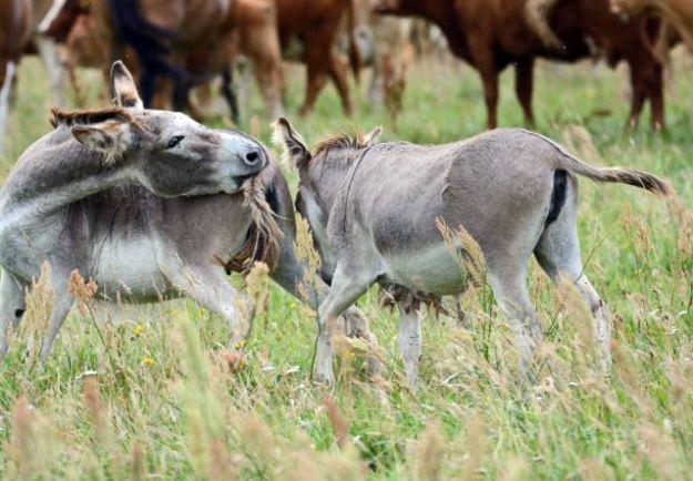 In die Herden integrierte Esel warnen vor Wölfen Foto ©Jürgen Gernandt