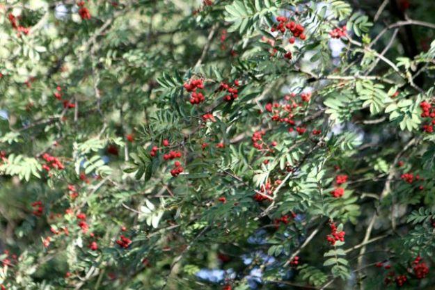 Leuchten jetzt rot im Herbstlicht: Vogelbeeren, die Beeren der Eberesche