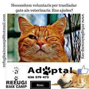 Necessitem Voluntaris Per Traslladar Gats Als Veterinaris.