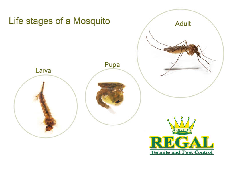 Mosquitoes  Regal Pest Control