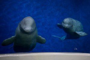 Content Platforms: Sealife Beluga Whales