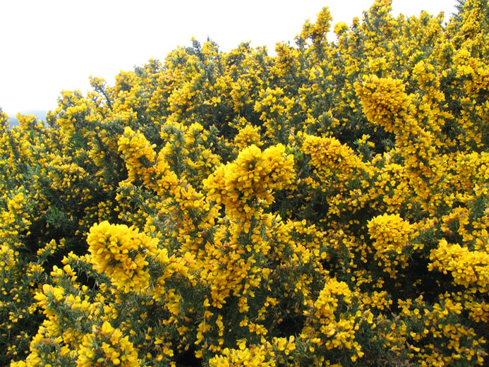 Of Gorse of Course  Regan Gentry