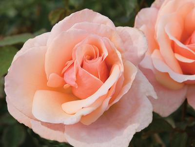 Mother of Pearl own root Rosa Grandiflora Mother of