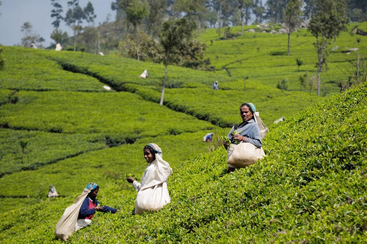 Culture du thé