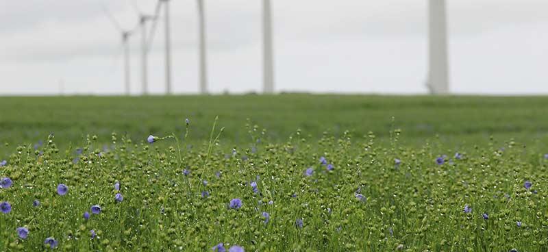 Champ de lin rempli de petites fleurs bleue devant des éoliennes. Les graines de lin serviront à faire de l'huile riche en acides gras linoléiques, un oligo-élément essentiel (avec les minéraux, les acides aminés et les vitamines).