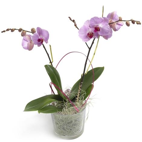 Phalaenopsis Orchidee  Phalaenopsis Orchidee bezorgen in
