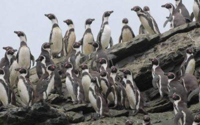 Disminución del Pingüino de Humboldt preocupa a investigadores