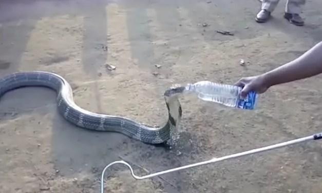 Відео дня: кобра, яка вмирала від спраги, попросила допомоги у людей
