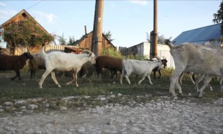 В Україні порахували корів, кіз та свиней