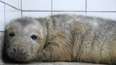 Photo of Zeehondpup van een week oud opgevangen in Ecomare