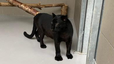 Photo of Stichting Leeuw vangt zwarte panter op