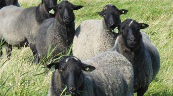 Nieuwsgierige zwarte schapen