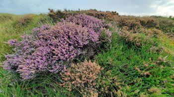 Een laatbloeier, deze struik paarse hei