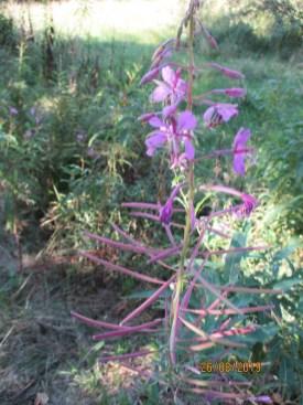 Fleurs (?) violettes de la tourbière