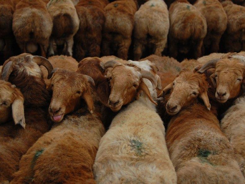 Unter Schafen – der Viehmarkt in Kashgar