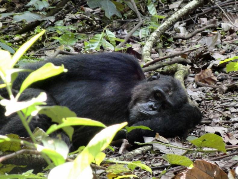 Schimpansen hautnah