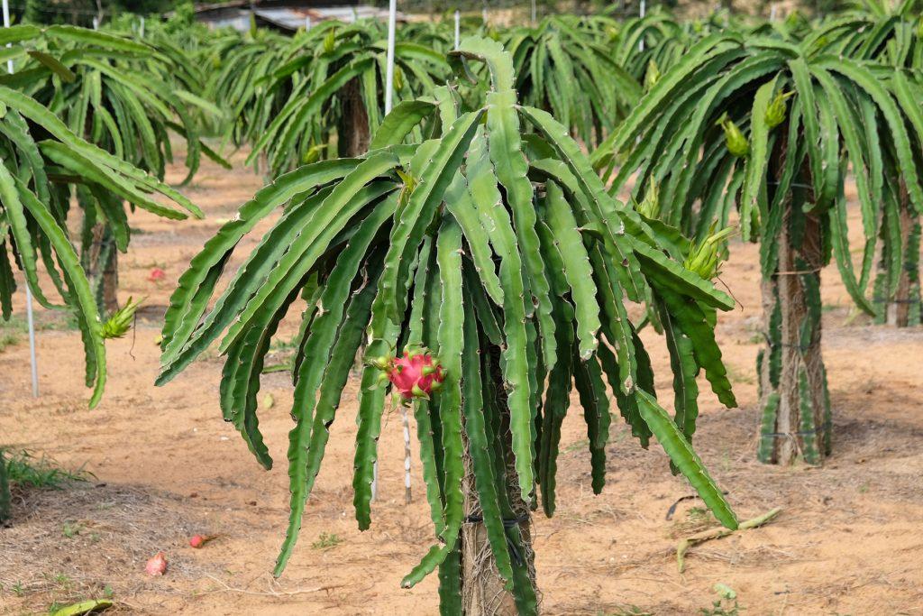 Een drakenfruitplantage in Vietnam.