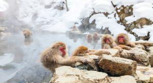 Auch bei Affen kommt ein Bad in den warmen Onsen-Quellen gut an. (F.: Bigstockphoto.com/BlueOrange Studio)