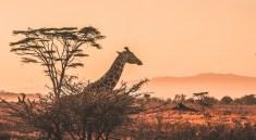 Live Safari im Internet (Foto: Harshil Gudka via Unsplash)