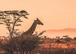Live Safari im Internet (Foto: Harshil Gudka via Unsplash)