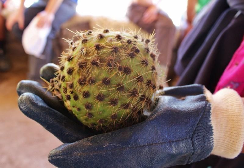 Kaktusfrucht Tuna