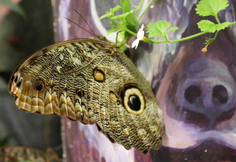 Schmetterling in Mindo