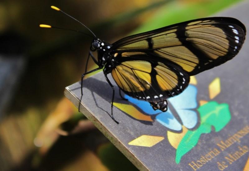 Schmetterlinge in Mindo