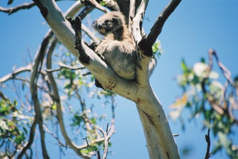 Wilde Tiere Australien
