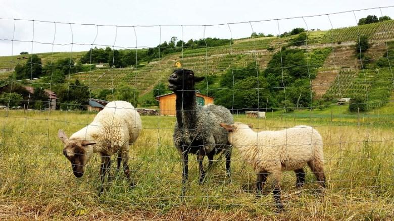 Diese Kumpanen lassen sich bereitwillig streicheln. Ich wusste gar nicht, dass Schafe schnurren können.