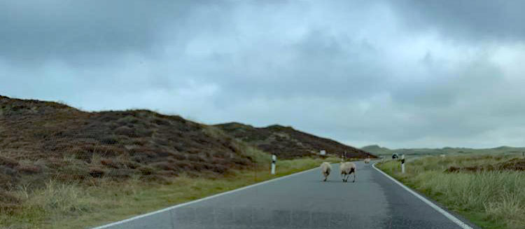 Sylt Schafe auf der Straße
