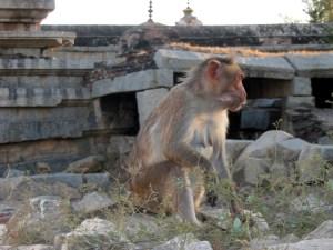Affe in Hampi