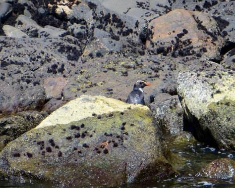 Pinguin im Milford Sound!