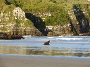 Seelöwe in der Jacks Bay