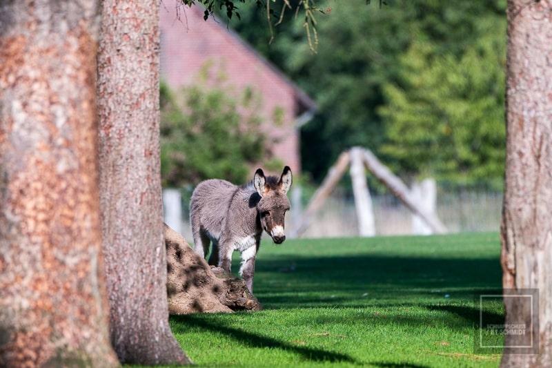 Ein junger Esel