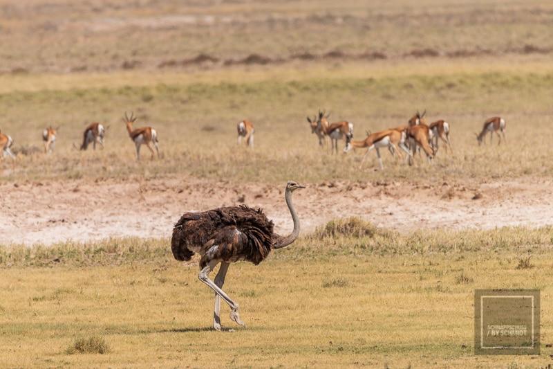 Etosha National Park - Strauß