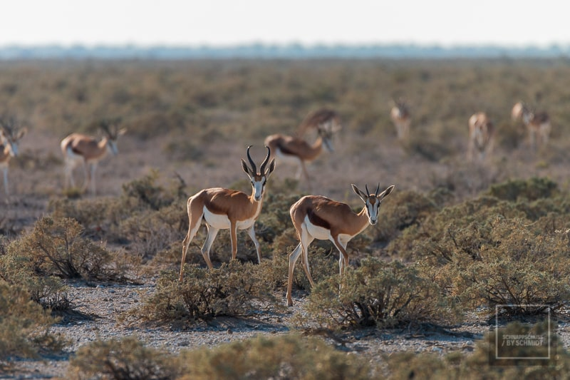 Etosha National Park - Springböcke