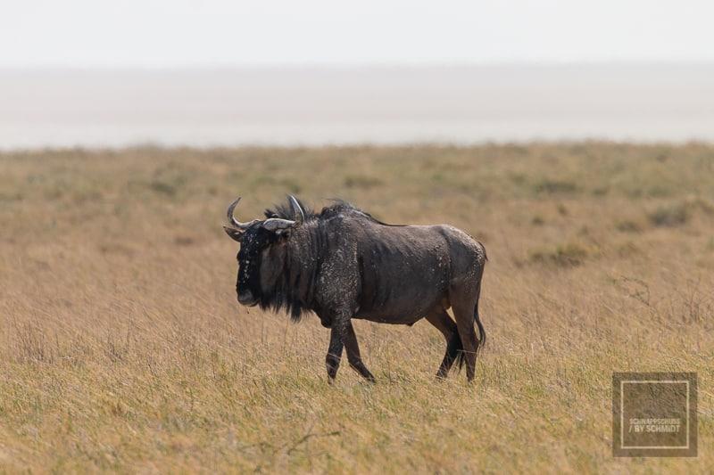 Etosha National Park - Gnu