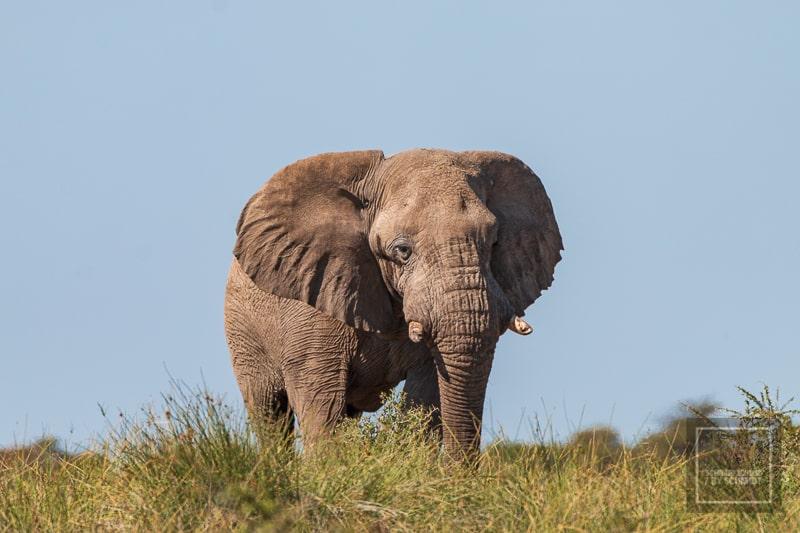 Etosha National Park - Elefant
