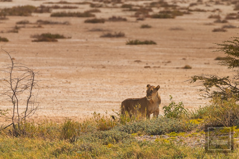 Etosha National Park - Löwe 2