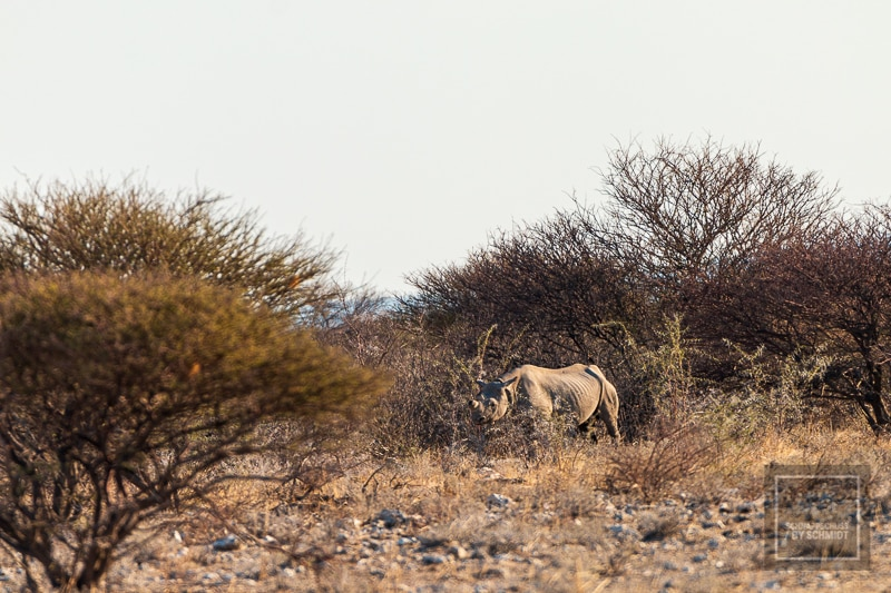 Etosha National Park - Nashorn