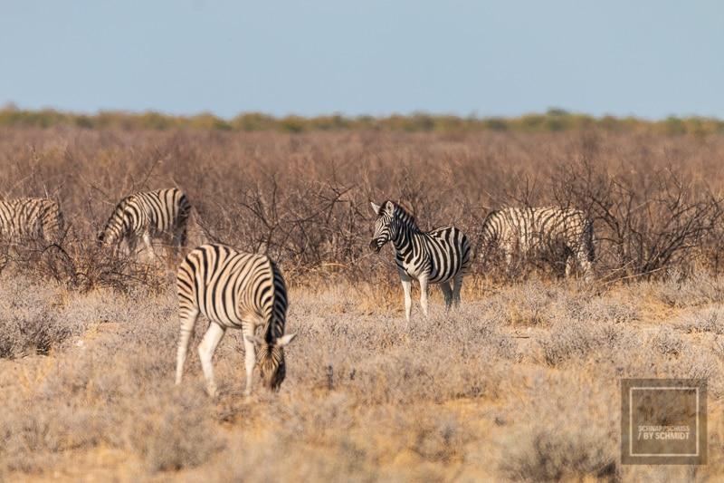 Etosha National Park - Zebras