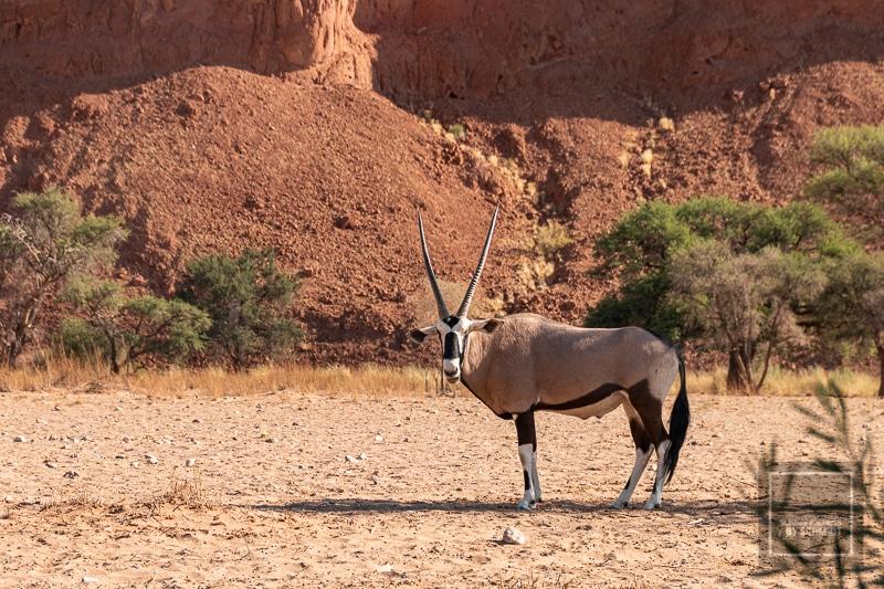 Namibia Rundreise - Oryxantilope