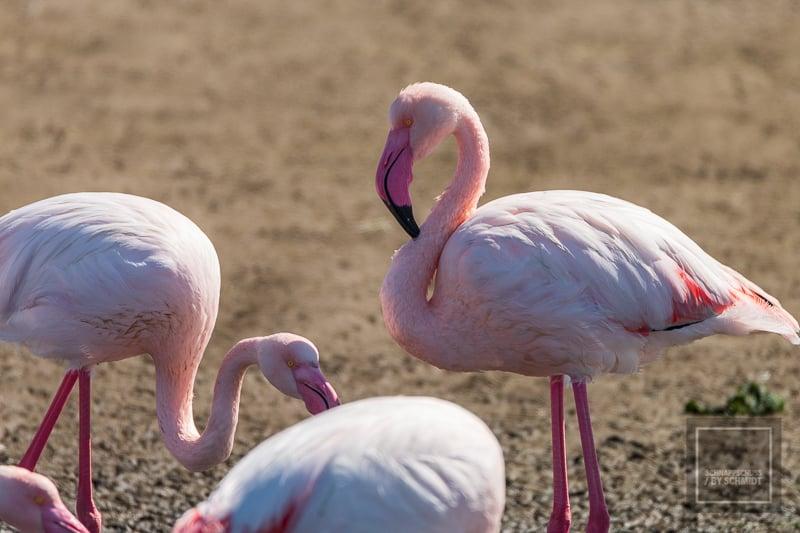 Flamingos in Walfisbay
